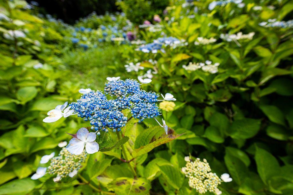 近所の紫陽花園へ_c0402484_20495765.jpg