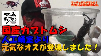 マッチョテングマンのカブトムシはじめました。 【国産カブトムシ!人口蛹室より羽化した件】んの巻_f0236990_16113270.png