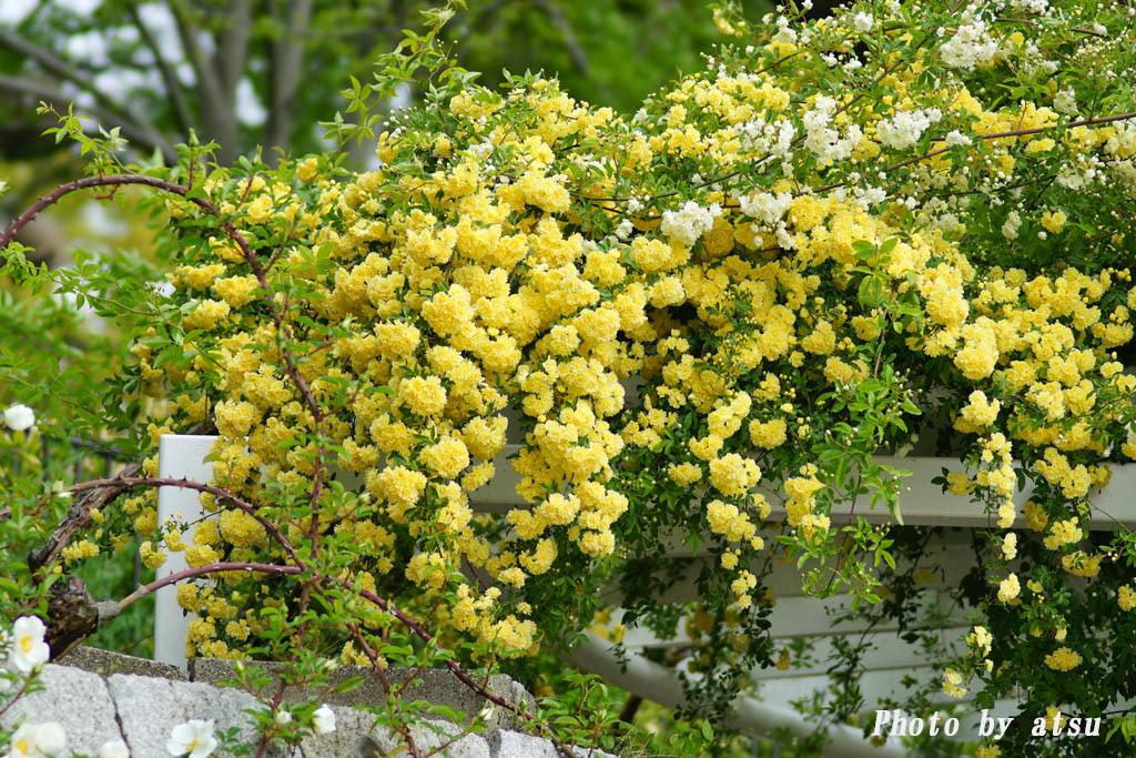 鶴見緑地の春の花々(3)@2021-04-14_d0250840_20302326.jpg