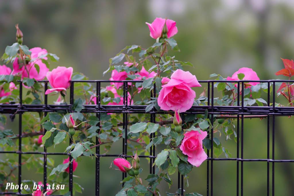 鶴見緑地の春の花々(3)@2021-04-14_d0250840_20310196.jpg