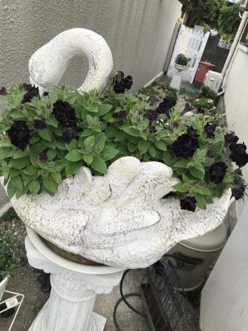 ブラックペチュニアが咲きました_c0185356_15432699.jpg