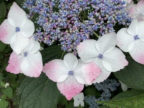 5月の庭の紫陽花_d0336460_02265499.jpeg