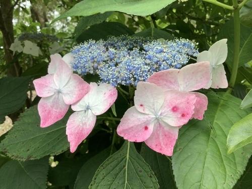5月の庭の紫陽花_d0336460_02274070.jpeg