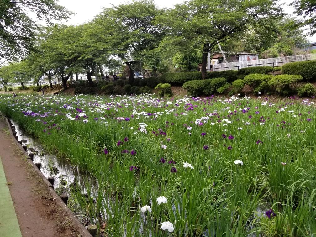 赤堀菖蒲園_c0056473_15572440.jpg