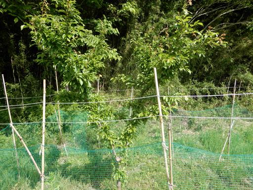 果樹の成長と初生り_d0366590_10434070.jpg