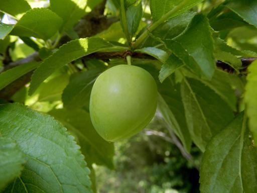 果樹の成長と初生り_d0366590_10434113.jpg