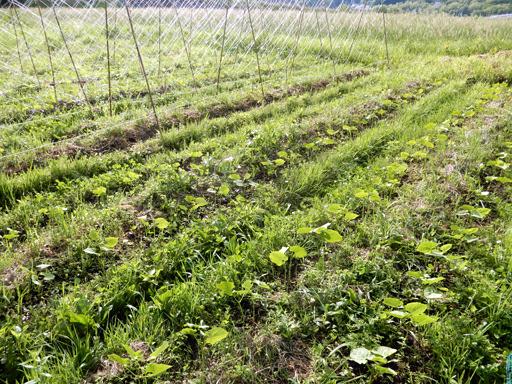 自然農の畑 6月上旬_d0366590_10510786.jpg