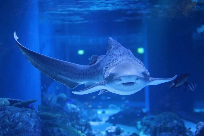 アクアパーク品川のサメたち~トラフザメとヤジブカなど_b0355317_21154725.jpg