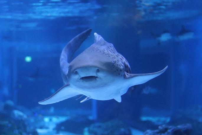 アクアパーク品川のサメたち~トラフザメとヤジブカなど_b0355317_21171209.jpg