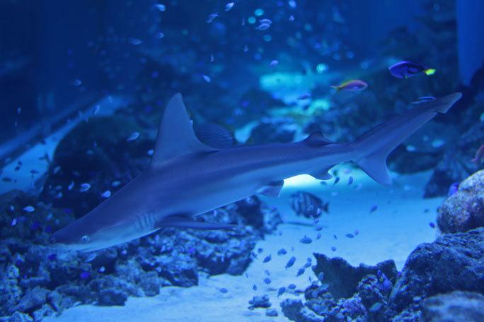 アクアパーク品川のサメたち~トラフザメとヤジブカなど_b0355317_21180724.jpg