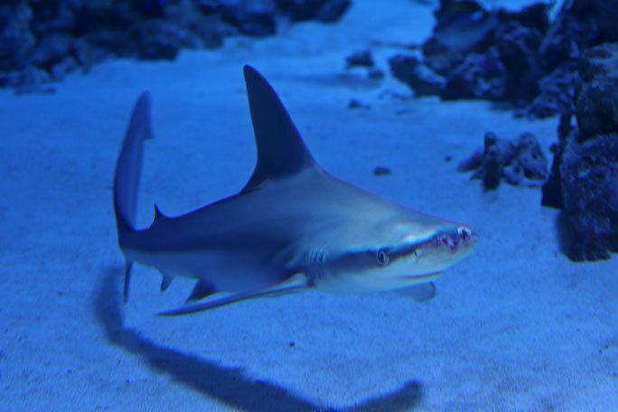 アクアパーク品川のサメたち~トラフザメとヤジブカなど_b0355317_21200716.jpg