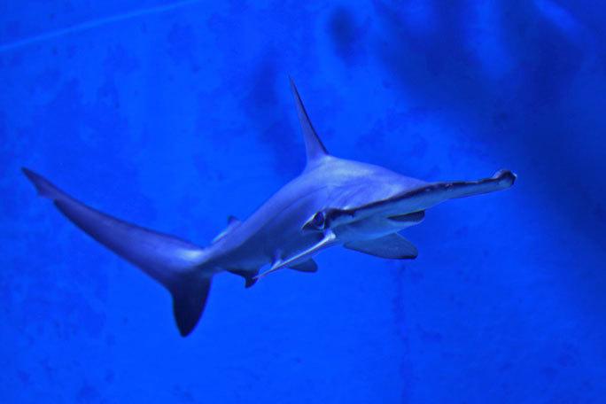 アクアパーク品川のサメたち~トラフザメとヤジブカなど_b0355317_21210247.jpg