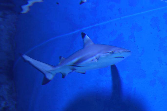 アクアパーク品川のサメたち~トラフザメとヤジブカなど_b0355317_21211952.jpg