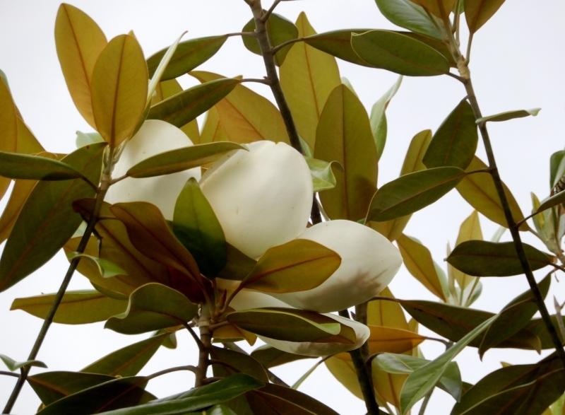 マグノリア・ソフトクリーム * la glace au magnolia_f0374041_10211405.jpg