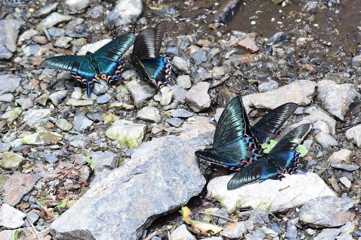 渓谷の林道で吸水する、ミヤマカラスアゲハ達②(2021/05/29)_d0387460_10302163.jpg