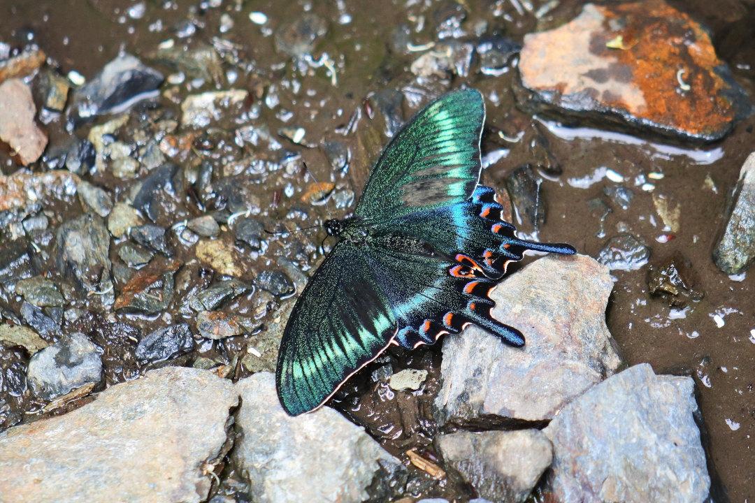 渓谷の林道で吸水する、ミヤマカラスアゲハ達②(2021/05/29)_d0387460_10310327.jpg