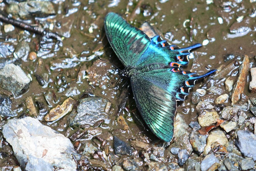 渓谷の林道で吸水する、ミヤマカラスアゲハ達②(2021/05/29)_d0387460_10311290.jpg