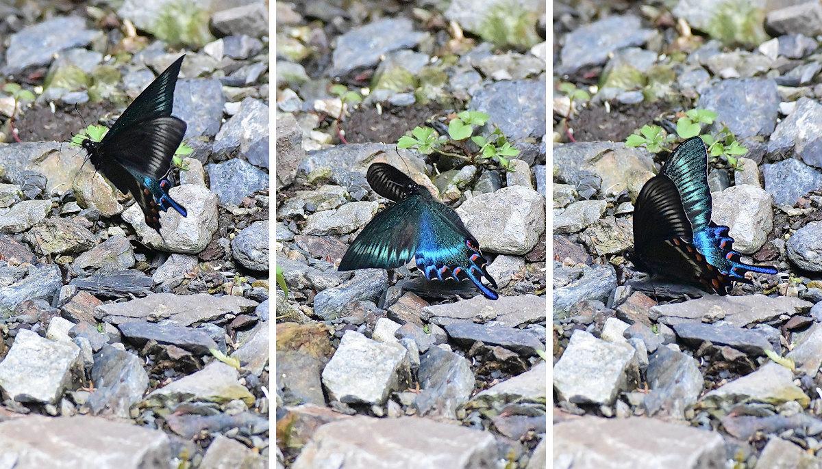 渓谷の林道で吸水する、ミヤマカラスアゲハ達②(2021/05/29)_d0387460_10312155.jpg