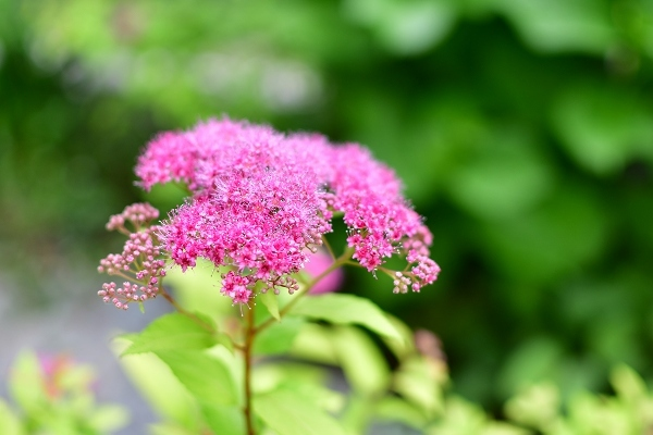 5月の庭(薔薇以外) 2021_d0025294_16551565.jpg