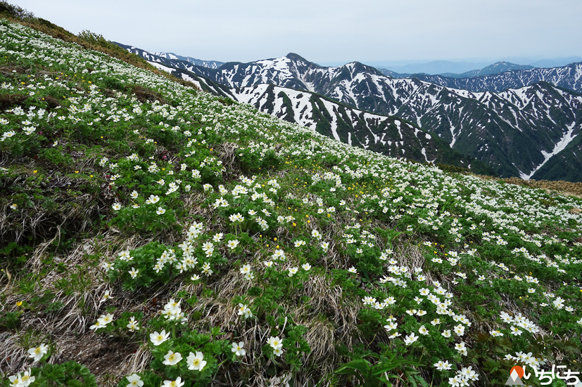 お花見山歩 朳差岳_f0016656_22503178.jpg