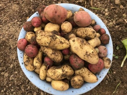 ジャガイモ収穫_b0091783_06492855.jpeg