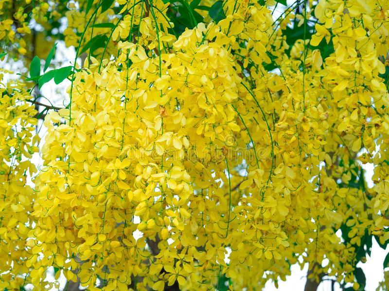 チェンマイの街や野を彩る花々とそのエピソード(第10回)_d0159325_19230972.jpg