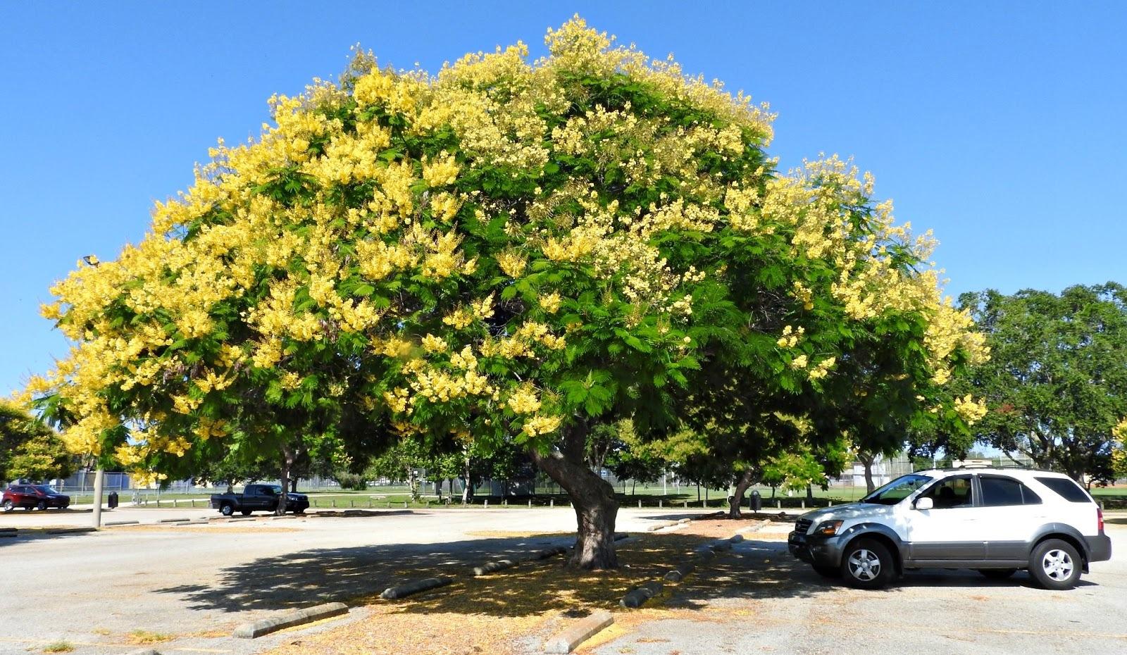 チェンマイの街や野を彩る花々とそのエピソード(第10回)_d0159325_20085990.jpg
