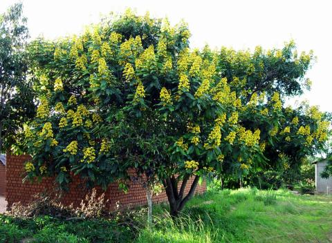 チェンマイの街や野を彩る花々とそのエピソード(第10回)_d0159325_23520760.png