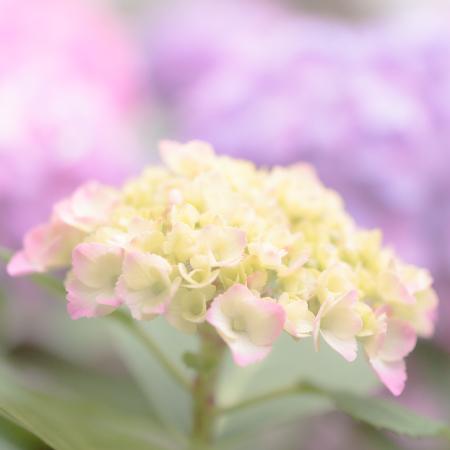 花のある風景 アジサイ_b0133053_11125199.jpg