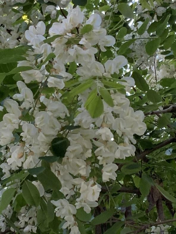満開のアカシアの花_f0380954_18192058.jpeg