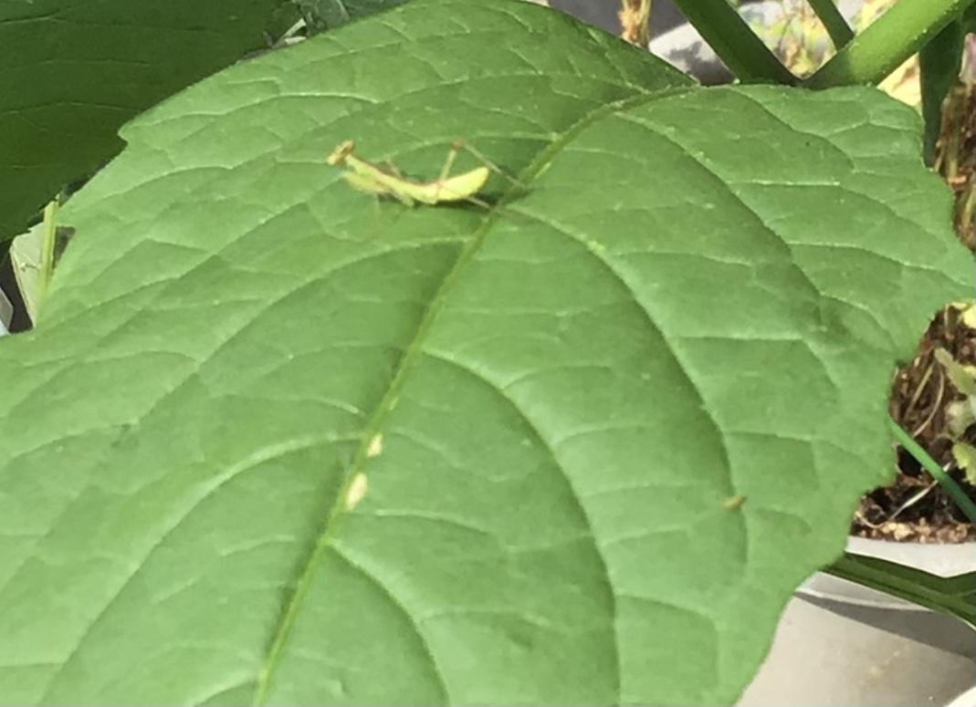 カマキリが茶色からグリーンにトカゲの日向ぼっこ_a0053063_19082207.jpeg