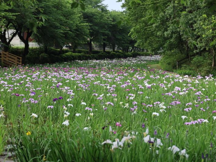 ハナショウブ ~赤堀しょうぶ園~ (2021/6/6撮影)_b0369971_15111268.jpg
