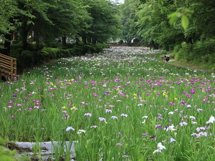 ハナショウブ ~赤堀しょうぶ園~ (2021/6/6撮影)_b0369971_15112452.jpg