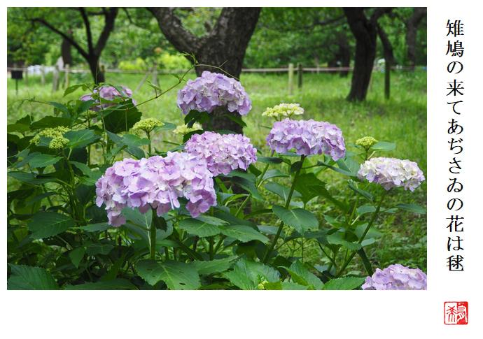 雉鳩の来てあぢさゐの花は毬_a0248481_21184678.jpg