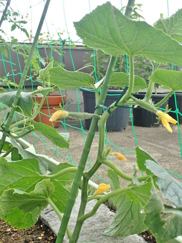 屋上菜園は順調に育ち始めました!_c0336902_18594774.jpg