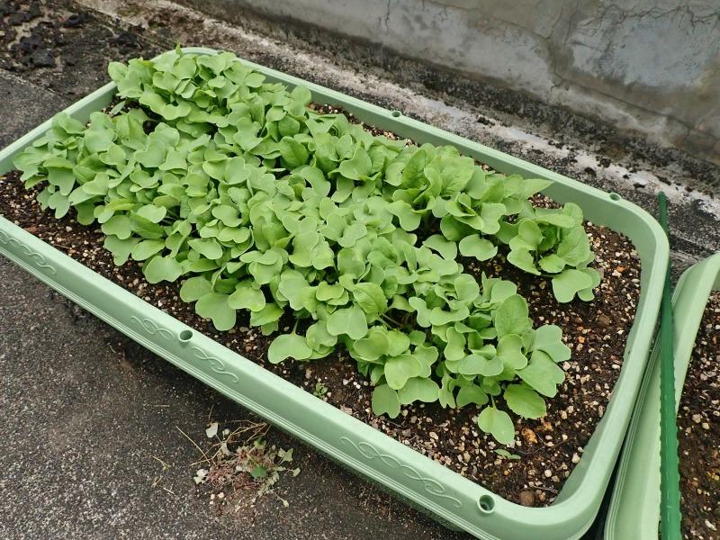 屋上菜園は順調に育ち始めました!_c0336902_18595131.jpg