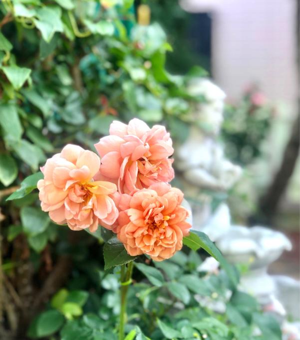 庭で幸せを感じる時♡と、紫陽花の開花♫_a0396654_17311002.jpg