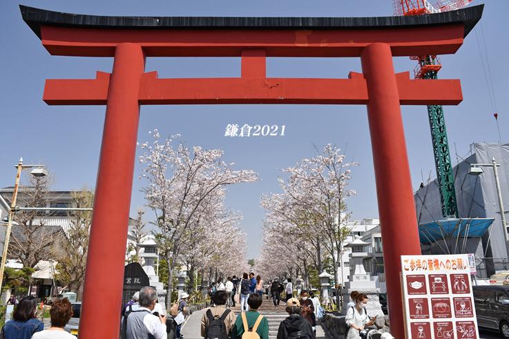 段葛の桜 満開 ② 『そうだ 鎌倉、行こう 2021』_d0251161_09291972.jpg
