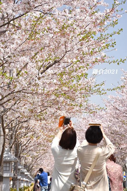 段葛の桜 満開 ② 『そうだ 鎌倉、行こう 2021』_d0251161_09302365.jpg
