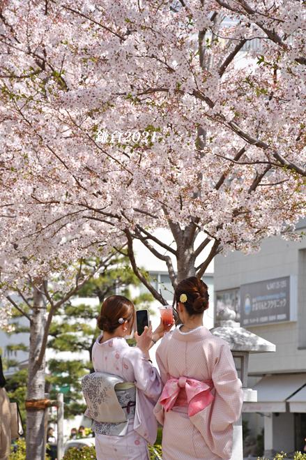 段葛の桜 満開 ② 『そうだ 鎌倉、行こう 2021』_d0251161_09340964.jpg
