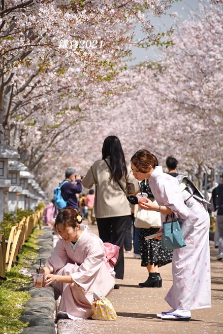 段葛の桜 満開 ② 『そうだ 鎌倉、行こう 2021』_d0251161_09344148.jpg