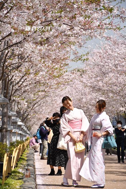 段葛の桜 満開 ② 『そうだ 鎌倉、行こう 2021』_d0251161_09380444.jpg