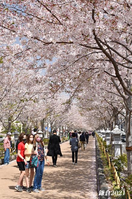 段葛の桜 満開 ② 『そうだ 鎌倉、行こう 2021』_d0251161_09405602.jpg