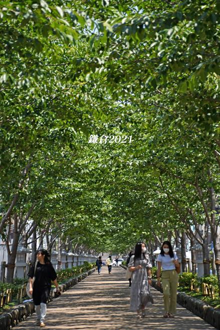 段葛の桜 満開 ② 『そうだ 鎌倉、行こう 2021』_d0251161_16440114.jpg
