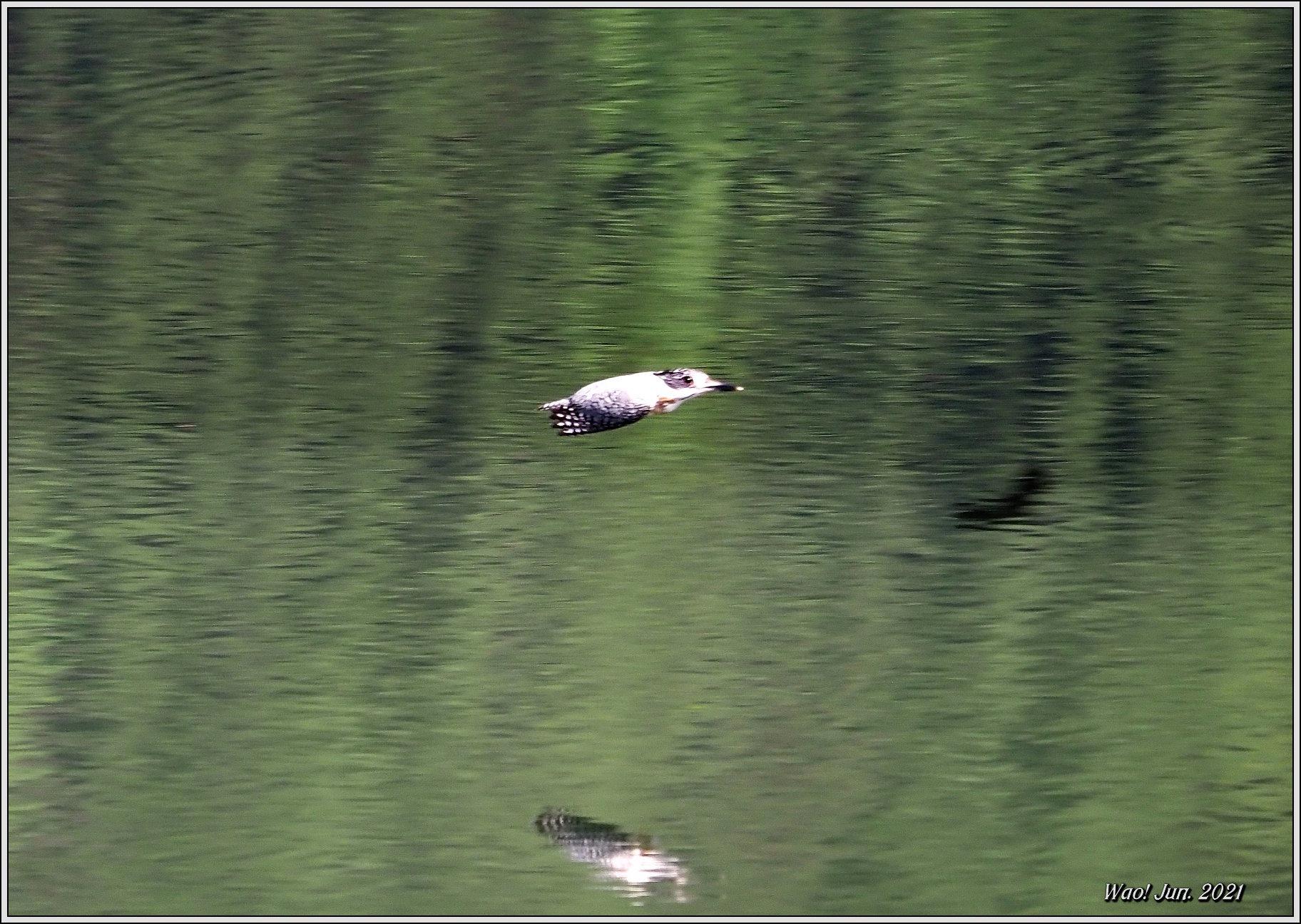 ダム湖のヤマセミ(2021)-14 湖面を飛翔_c0198669_16574871.jpg