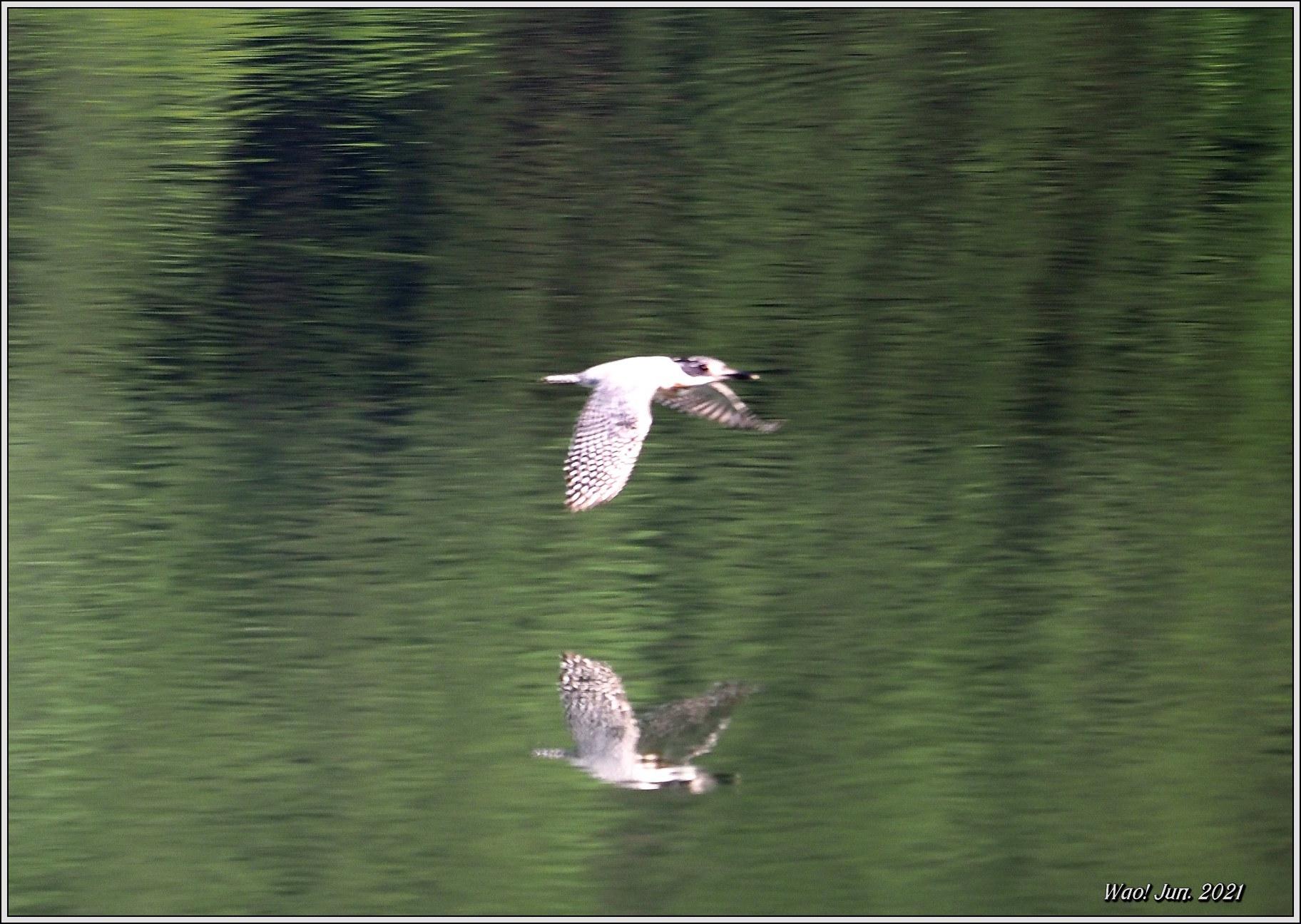 ダム湖のヤマセミ(2021)-14 湖面を飛翔_c0198669_16575039.jpg