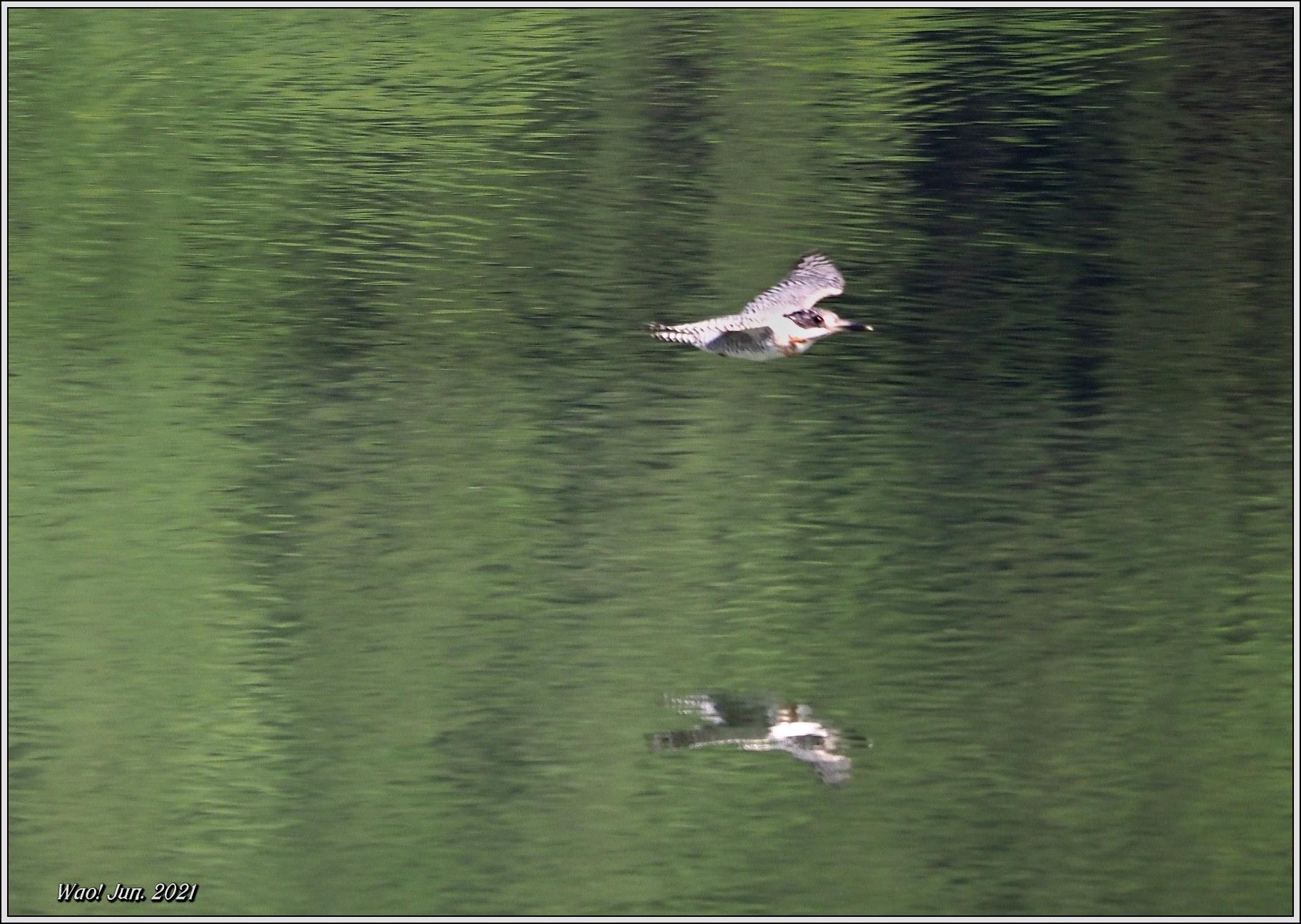 ダム湖のヤマセミ(2021)-14 湖面を飛翔_c0198669_16575347.jpg