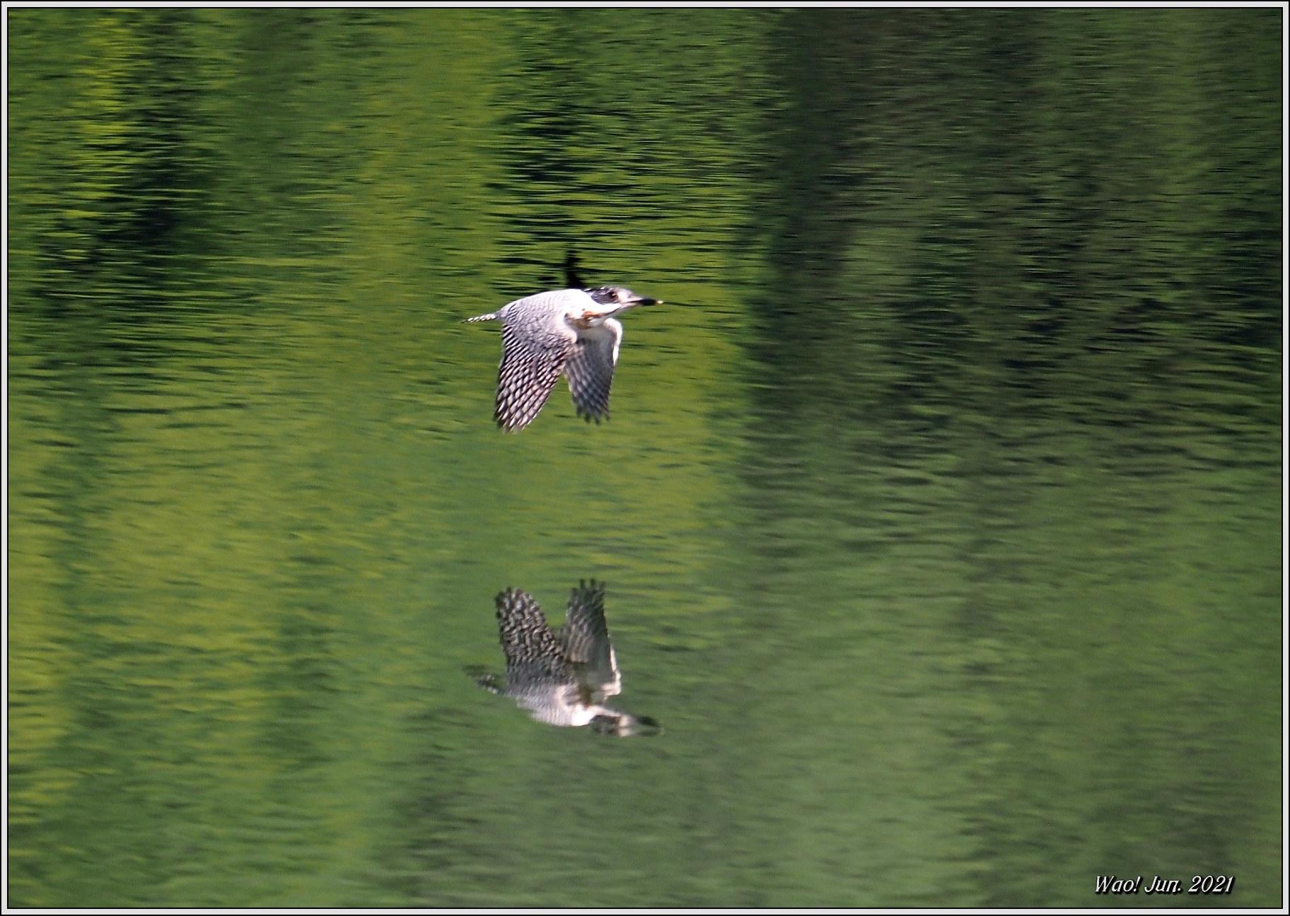 ダム湖のヤマセミ(2021)-14 湖面を飛翔_c0198669_16575532.jpg