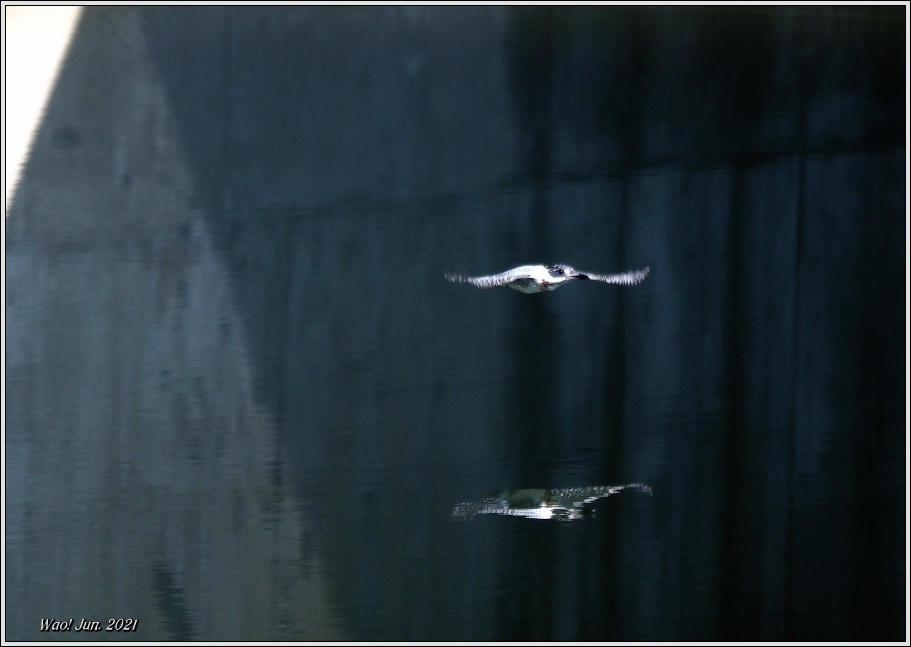 ダム湖のヤマセミ(2021)-14 湖面を飛翔_c0198669_16575728.jpg