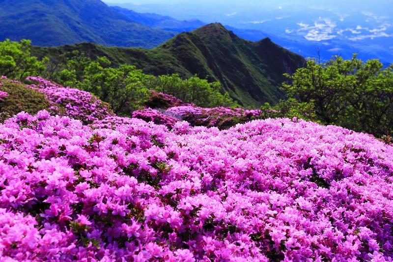 九重山 ミヤマキリシマ_e0405576_21410864.jpg